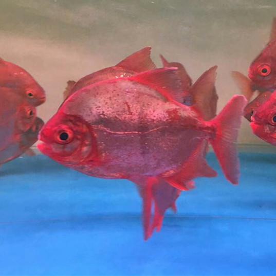 金坛玫瑰银版鱼