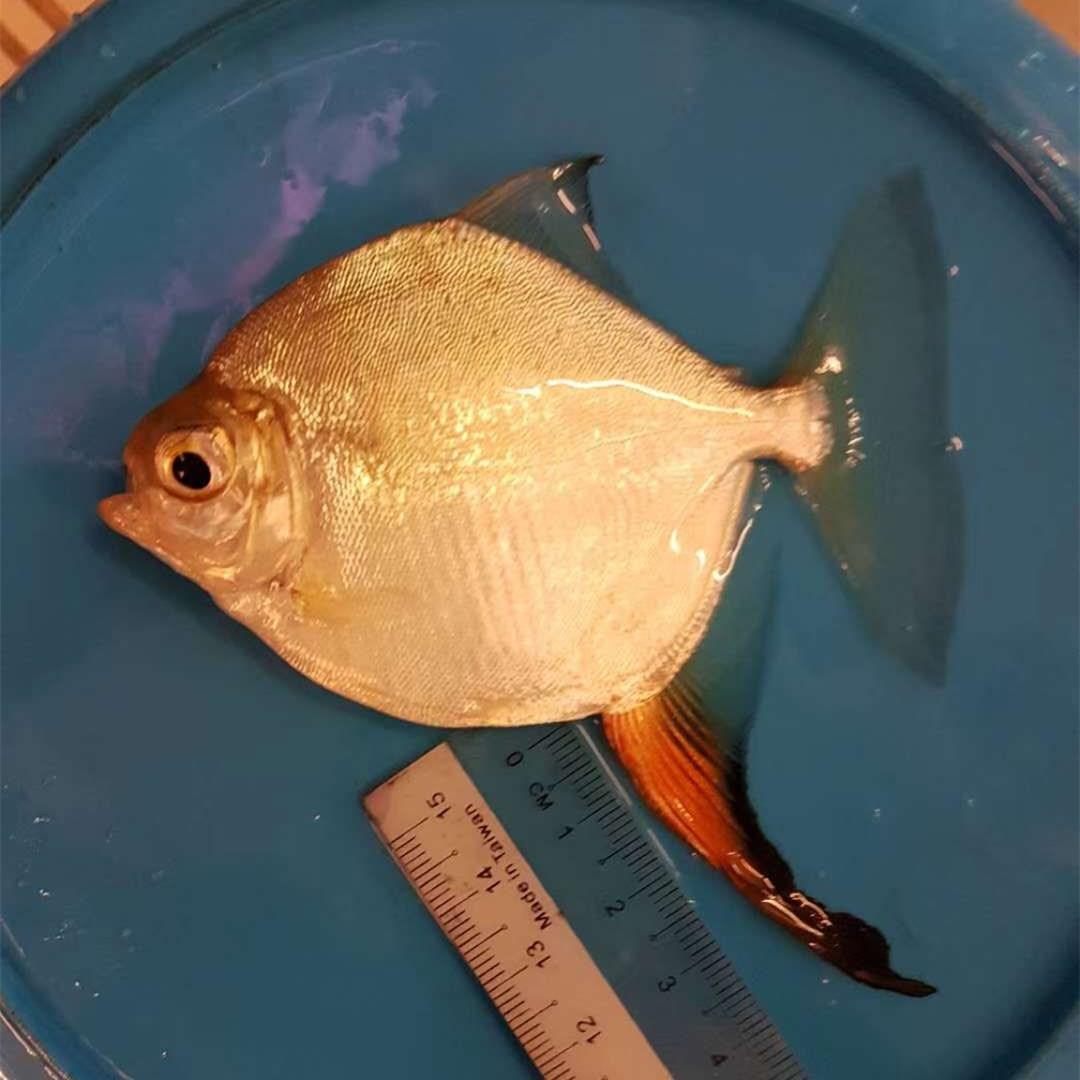 金坛红勾银版鱼
